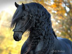 beautiful-horse-mane-black-friesian-frederik-great-11