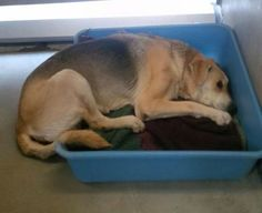 **FUREVER HOME, RESCUE OR FOSTER NEEDED!** Senior shepherd dumped because he urinated on himself when he couldn't get up