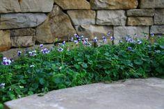 Viola Hederacea -Native Violet // Zone 1 // Ground cover over all retaining walls. Back Gardens, Small Gardens, Outdoor Gardens, Landscape Design, Garden Design, Violet Garden, Australian Native Garden, Planting Plan, Coastal Gardens