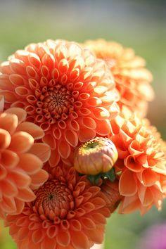 Orange Dahlia. Getting ready for a season of orange.