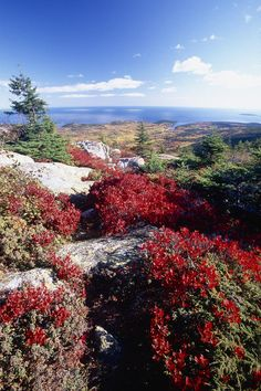 ✮ Red Berry Bushes on Cadillac Mountain, Acadia National Park, Maine We were here--oh so windy--in Oct., 2014 Amazing views of ocean Beautiful World, Beautiful Places, Acadia National Park Camping, Camping In Maine, Wanderlust, Desert Island, Us National Parks, Beautiful Landscapes, Travel Usa