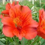Bright Orange Alstroemeria Flowers -Macondo