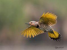 Kingdom Animalia -Yellow-Shafted (Eastern) Northern Flicker - Photo by Judylynn Malloch - Bunting Bird, Northern Flicker, World Birds, Kinds Of Birds, Bird Pictures, Mellow Yellow, Bird Watching, Bird Feathers, Amazing Nature