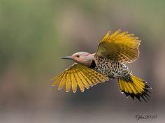 Kingdom Animalia, Northern Flicker (by Judylynn Malloch)