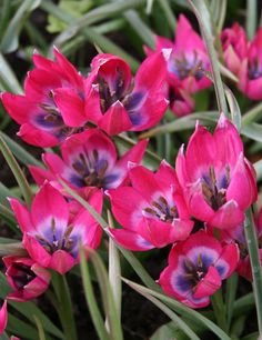 Little Beauty Botanical Tulip. This botanical or species tulip is truly a Little Beauty! Botanical Tulip is like a little ruby among your garden, its petals quite patriotic with deep blue-purple in the center, fading to white and then finally into a pinkish carmine red. Great for naturalizing and adding color to groundcover areas! Good choice for southern states. Represents perfect love and eternal happiness!  Perennial in Zones 3 - 8. Tulipa. Size 6/7 cm. This item will Bloom/Grow Early…