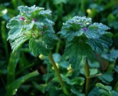Henbit, brief salad green of spring;  METHOD OF PREPARATIOIN: Young leaves, raw or cooked, added to salads or as a potherb. No poisonous look alikes. Stems and flowers are edible, too.