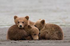 Bear cubs ..