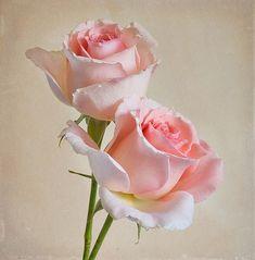 .✿⊱♥ Rosas