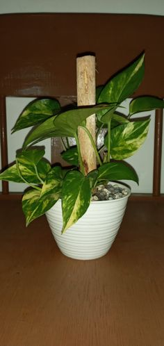 Portulaca Flowers, Planting Flowers, Golden Pothos Plant, Epipremnum Pinnatum, Best Indoor Plants, Plant Design, Houseplants, Home And Garden, Gardening
