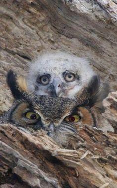 Owlet and Adult. Baby Owls, Baby Animals, Cute Animals, Owl Bird, Pet Birds, Owl Moon, Power Animal, Owl Photos, Great Horned Owl