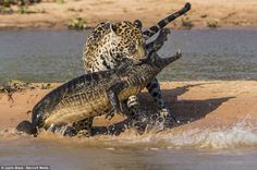 Jaguar who turned into Jaws: Sneaky big cat swims across river and then pounces on reptile basking on a sandbank  http://www.dailymail.co.uk/news/article-2412146