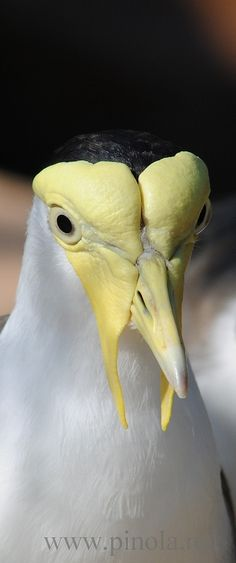 Up-close photography of a Masked Lapwing bird.