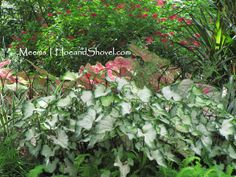 Caladiums :: Not Just for the Shade Anymore