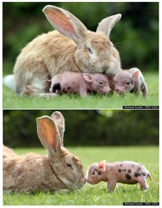 Giant rabbit and tiny pigs are best friends!!