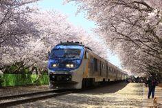군항도시에서 함께 즐기는 세계최대의 벚꽃축제, 경남 진해 군항제
