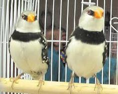 finches - Google Search
