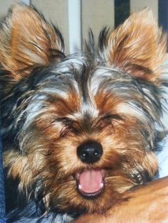 Yorkies, Yorkshire Terrier, Best Dogs, Laughter, Stuff To Do, Animals, Dogs, Animales, Yorkie