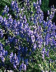 Azure Monkshood (Aconitum 'Fischeri') at English Gardens, 24 inches height, blooms late summer early fall