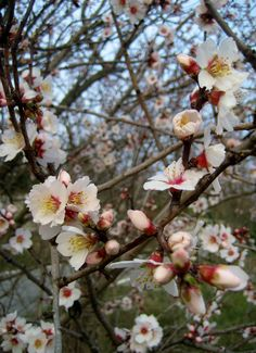 Almond blossoms in Lacoste