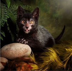 "People Are Going Nuts Over This New Cat Breed. The lykoi cat or ""werewolf cat"""