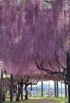 Wisteria tree. Higashi-Hiroshima, Hiroshima Prefecture, Japan