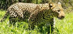 Only wish my leopard photo had been half as good as this! Leopard in Kruger National Park, South Africa