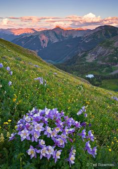 Patches of Columbines high up in the San Juan Wilderness of Colorado. by Tad Bowman