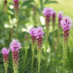 Liatris  (Liatris)  Add vertical pop to your garden with the clustered lavender flowers of blazing star. It's also ideal for attracting butterflies and hummingbirds.