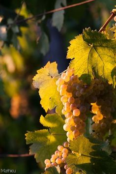 Grapes ~ By Mathieu