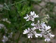 Horta - Como plantar Coentro (Coriandrum sativum) #alcanceosucesso