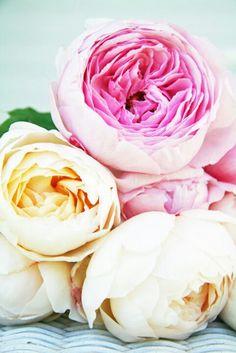 Glamis castle by David Austin creamy white English roses