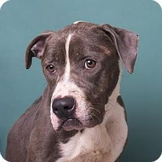 Lady O - URGENT - Calhoun County Humane Society, Inc. in Anniston, Alabama - ADOPT OR FOSTER - 4 year old Female Pit Bull Terrier