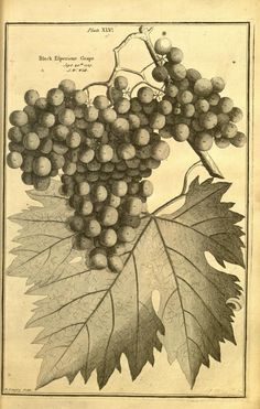 Pomona, or, The fruit-garden illustrated : - Biodiversity Heritage Library
