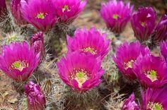 """Prickley Pear Cactus Flower """"Life is nothing but the opportunity for love to blossom."""" - Osho ❀ Photo by Illup Gravengaard www.kejiwa.com"""