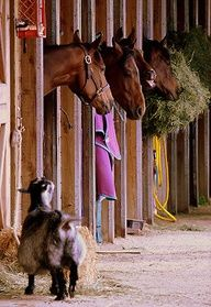 Alot of racing stables have goats to help keep the horses company, some even stall with individual horses