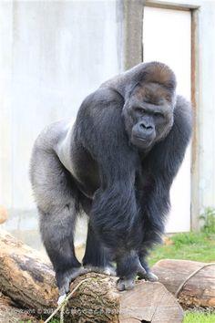 Primates, Mammals, Black Animals, Animals And Pets, Cute Animals, Silverback Gorilla, Mountain Gorilla, Interesting Animals, Baboon