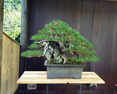 Just look at that trunk, wow! Tree and work by Michael Tran over at Minoru Bonsai. #bonsai #盆景 #盆栽 #분재 #tree