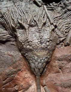 Crinoid (aka Sea Lily Fossil) -- Morocco