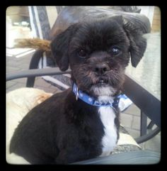 """#MYBEATUFULBOY 4 1/2 y old Lasa Apso  """"Susha"""". I need to rehome him.  Good with all ages. Jealously issues with my other dog, very loving. Inside dog who loves cuddles & food. Trained to sit, stay, shake, wait & fetch. Vacinations required and regular grooming. Great with children or even a companion for an older person. Must be an only child."""