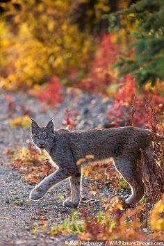 Lynx In Denali National Park, Alaska