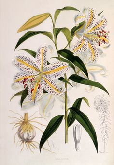 Hand coloured engraving of Lilium auratum (golden-striped Lily) by Walter Hood Fitch from Curtis's botanical magazine 1862. Creator: Fitch, Walter Hood (1817-1892) (Engraver). Date: 1862