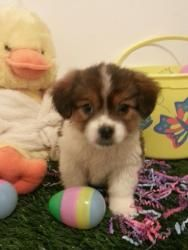Ni Ni is an adoptable Cavalier King Charles Spaniel Dog in Waterford, MI. ADOPTION EVENT SUNDAY APRIL 7TH FROM 1-4 AT THE PET SUPPLIES PLUS IN FARMINGTON HILLS ON ORCHARD LAKE RD BETWEEN 13 ANM 14 M...