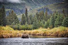 Alaska Brown Bear Photography workshop with wildlife photographer and instructor Kevin Dooley. Photographing Alaska is an amazing nature photography experience Photography Tours, Photography Workshops, Wildlife Photography, Alaskan Brown Bear, Safari, Mountains, Travel, Beautiful, Viajes