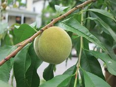 Our Reliance peach tree!  We planted it this spring and it's already producing fruit: about 10 fuzzy globes are getting bigger and bigger.