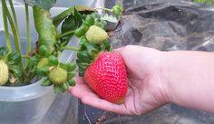 ¿Te gustan las fresas? Si tu respuesta es afirmativa es posible que te interese aprender algunos consejos para su cultivo, así podrás tener fresas de tu co