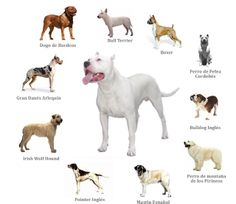 1000 images about the breed on pinterest spanish
