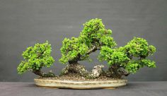 Going Rafting on Sinuous Roots | Bonsai Bark