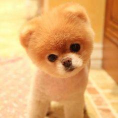 Boo dog Shirley's dream dog