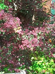 Purple leaf flowering plum shrubhad one of these in the front elderberry sambucus nigra black beauty pretty black foliage can add some nice contrast to your garden mightylinksfo