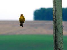 canary bird - canário da terra
